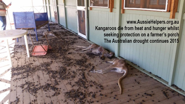 kangaroos-die-in-Australian-drought-Aussie-Helpers-2015-from-heat-and-hunger